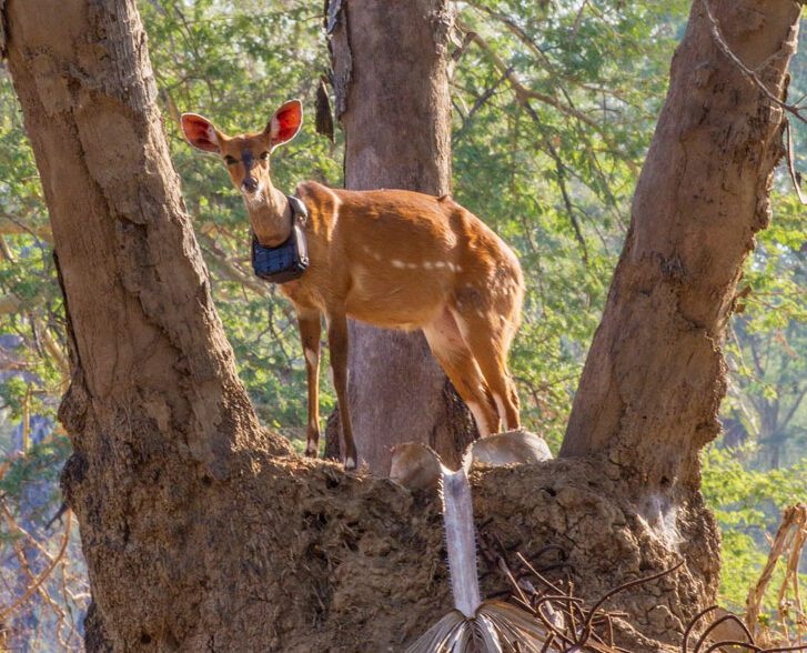 Bushbuck antelope with GPS collar standing on termite mound