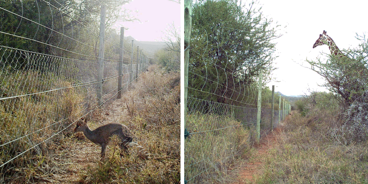 Two photos showing dikdik and giraffe blocked from entering UHURU plots with fences