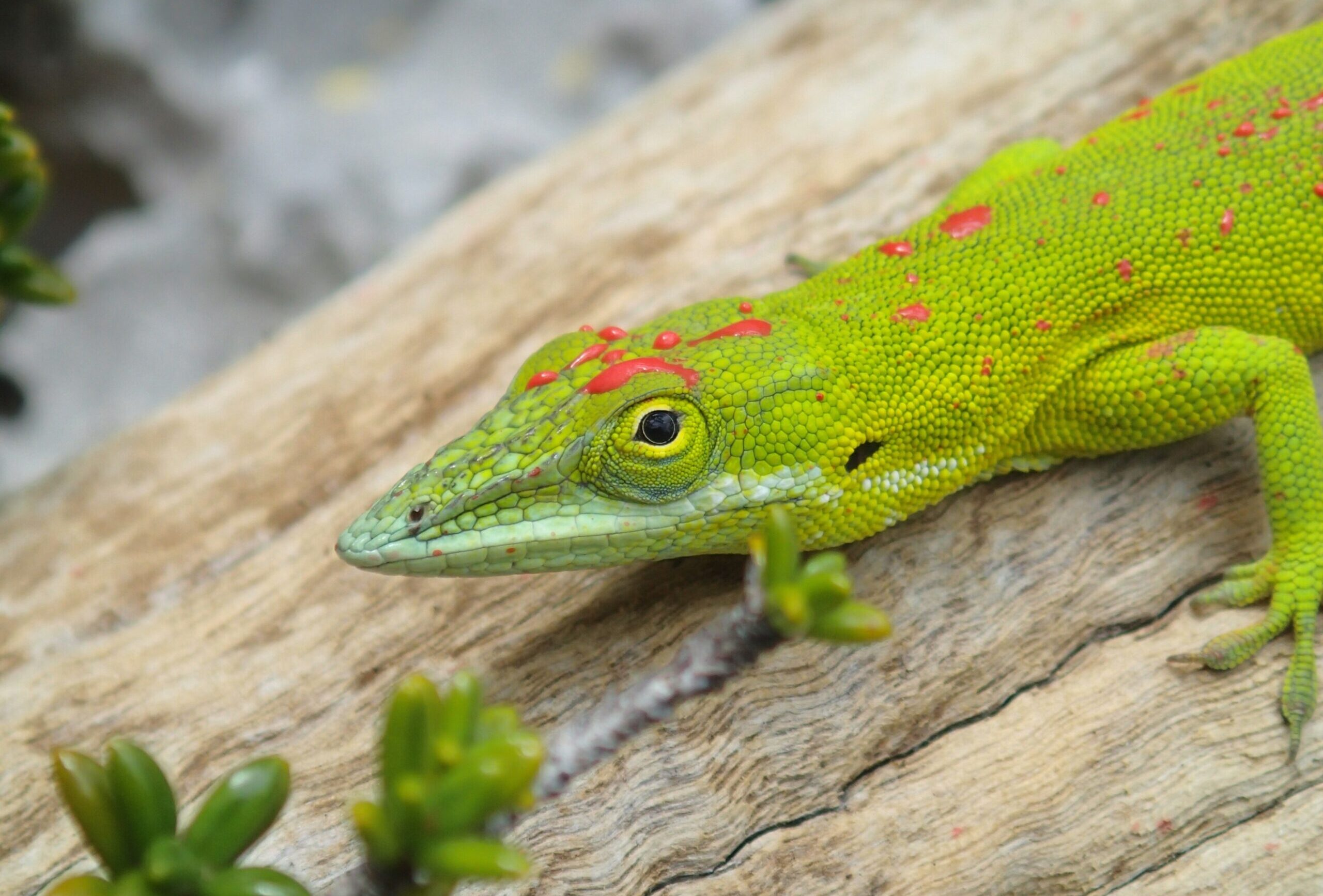Green anole lizard marked with red paint on head